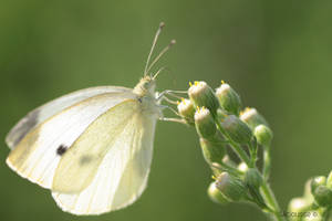 White Butterfly by viciousse