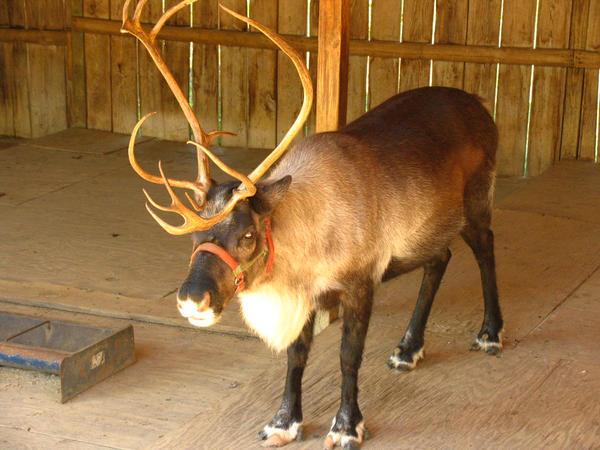 Reindeer by abuseofstock