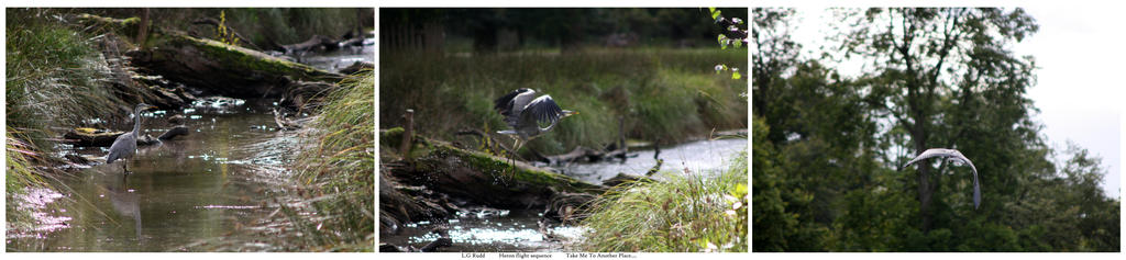 Heron in flight - Sequence by TakeMeToAnotherPlace