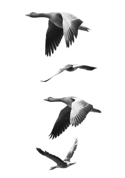 High Key Geese by TakeMeToAnotherPlace