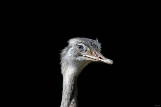 Young Emu Portrait