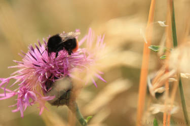 Romantic bumblebee by LuciaG