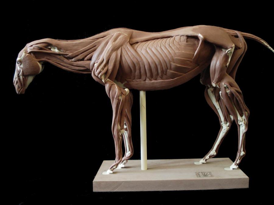 Horse anatomy: deep muscles by weird-one on DeviantArt