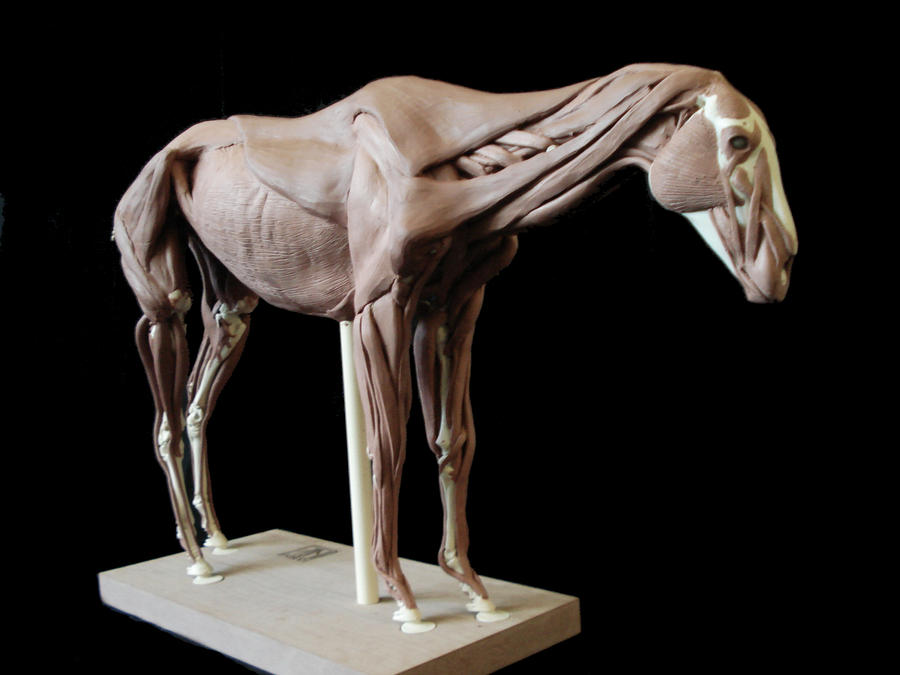 Horse Anatomy Muscles Gallery - human body anatomy