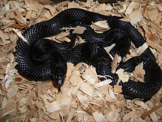Zerekiel, Mexican Black Kingsnake by TheTeethInTheShadows
