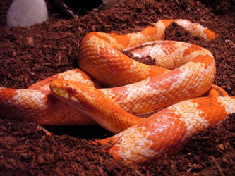 Ashdama aka Ashy, Corn Snake by TheTeethInTheShadows