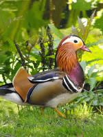 Duck by Aquata92