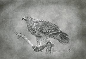 Eagle by evgeniyfill82