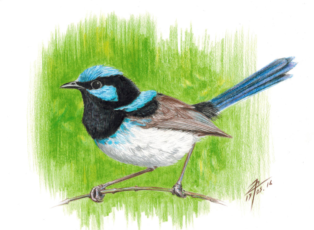 Superb fairywren by evgeniyfill82