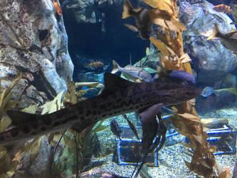Tiger Shark by sydneypie