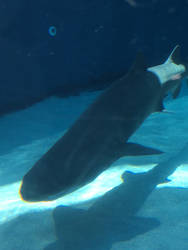 Shark by sydneypie