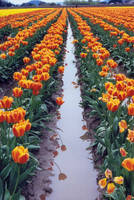 tulip festival 6 by JensStockCollection