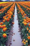 tulip festival 6