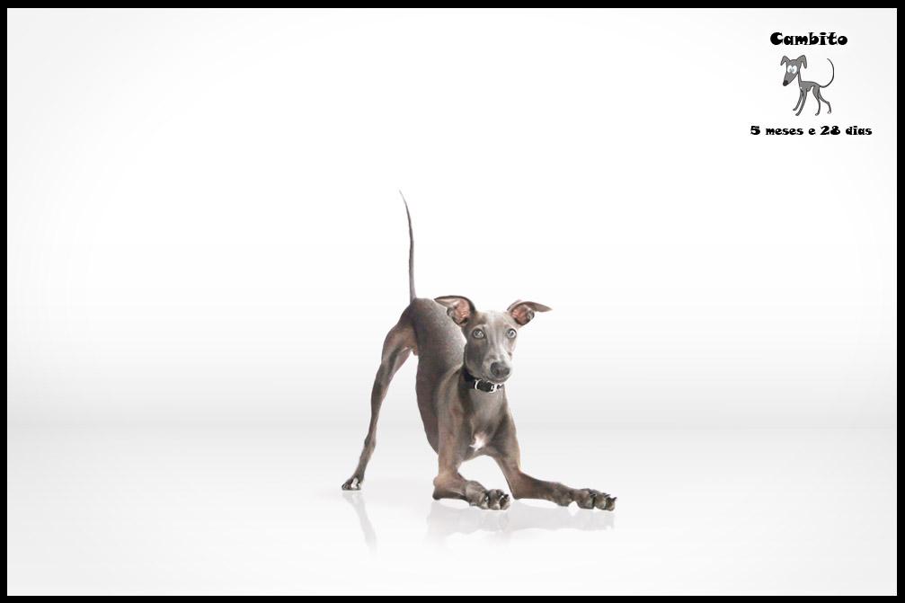 Italian Greyhound Teen by Luuucio