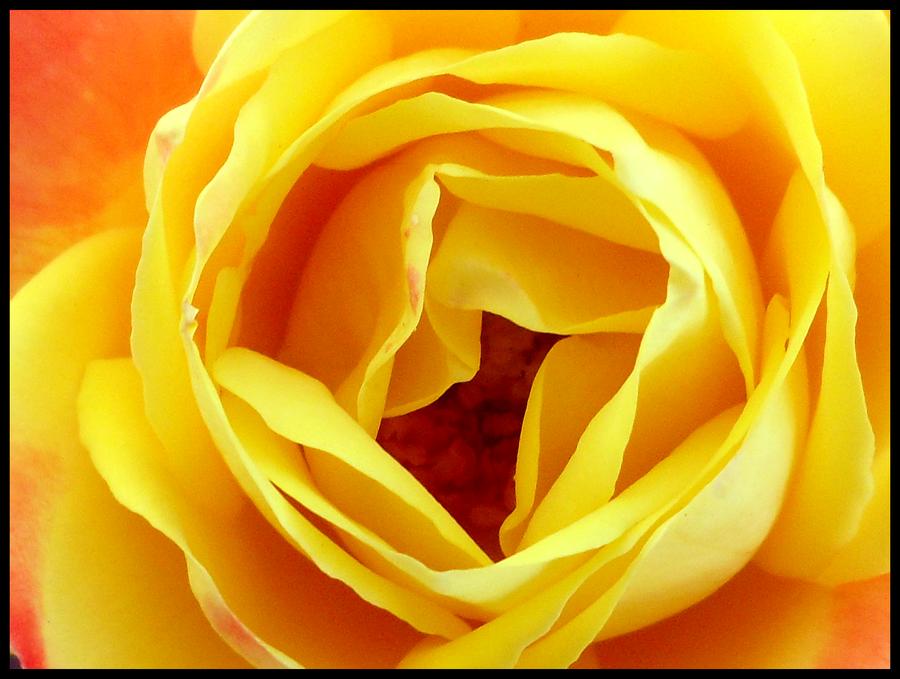 Rose by krasblak