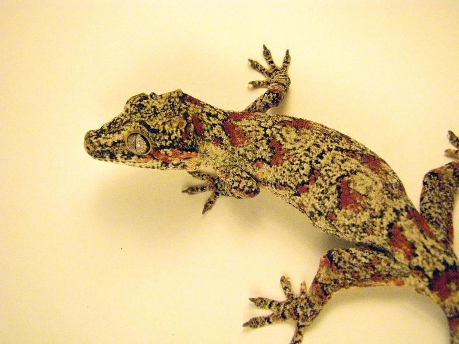 Female Gargoyle gecko by LandGart
