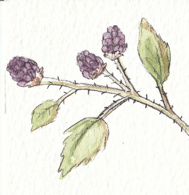 Blackberries by Louisetheanimator