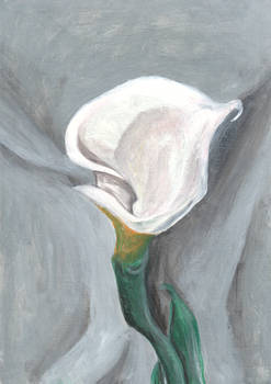 Calla Lily Turned Away