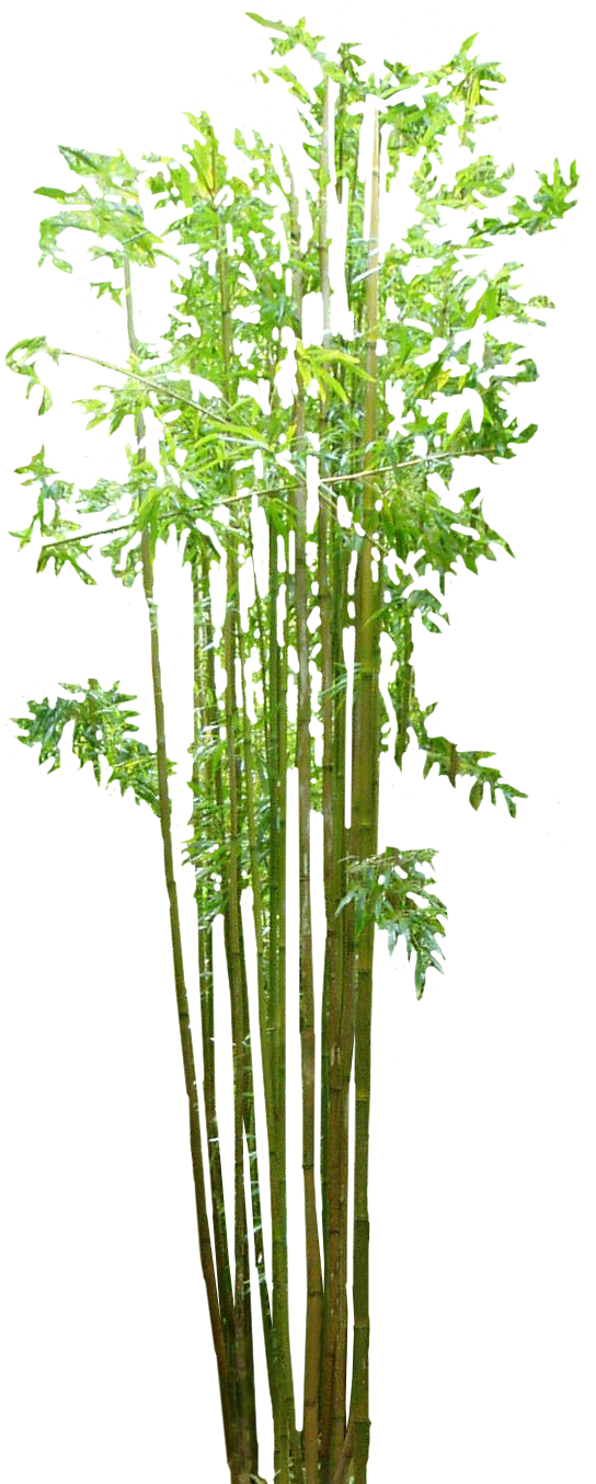 bamboo trees png - photo #6