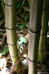 Bamboos reflecting light by Ludo38