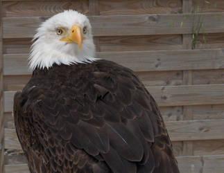 Eagle by Nini1996