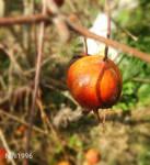 Pomegranate by Nini1996