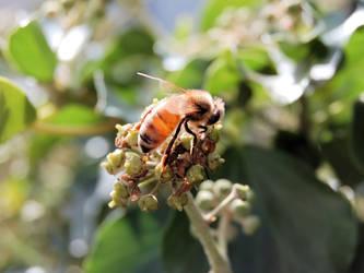Translucent Bee by brendangillatt