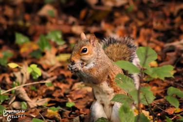 Squirrel by brendangillatt