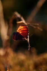 Autumn Red by brendangillatt