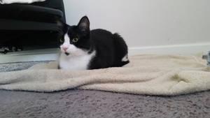 cat loaf 1