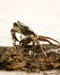 Crab I by Gibbich