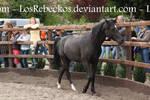 Arab Horse - STOCK