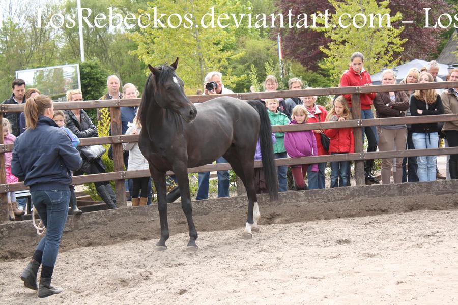 Proud Arab Horse - STOCK