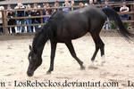 Arab Horse 2 - STOCK