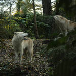 Wolf stock II