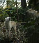 Wolf stock III