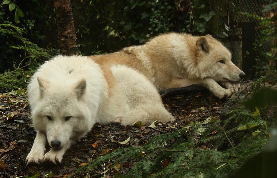 Wolf stock IIII by LosRebeckos