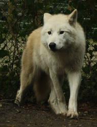 Standing Wolf Stock III
