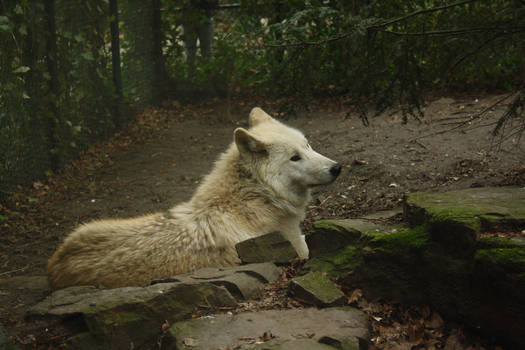 Laying Wolf Stock