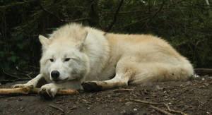 Laying Wolf Stock III