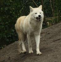 Growling Wolf Stock by LosRebeckos