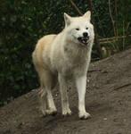 Growling Wolf Stock