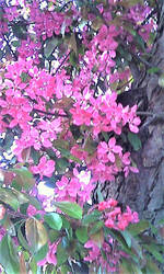 dark pink blossom