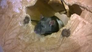 Rat buddie