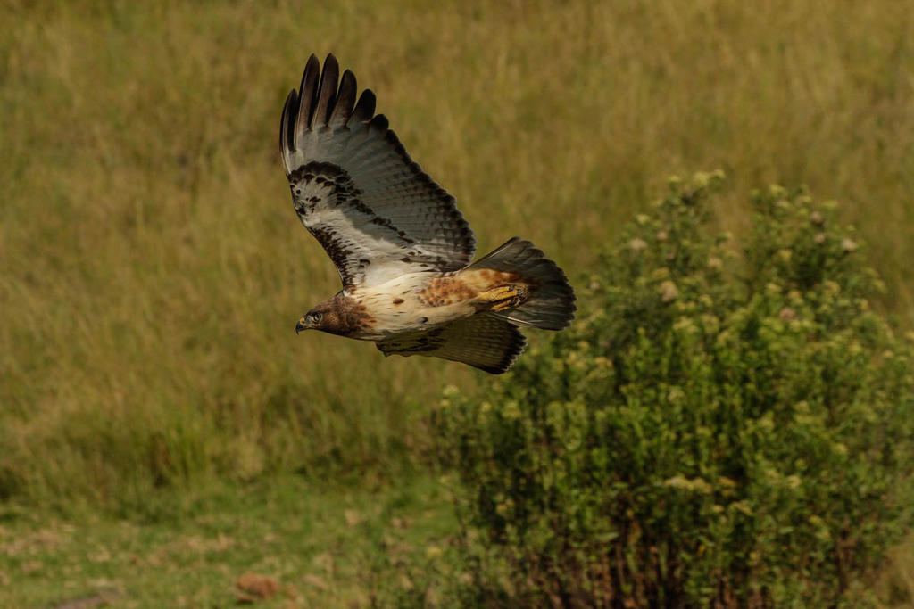 South African eagle 3 by Stray-Wolf-2