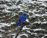 cheerful bluebird