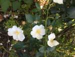 Rose Canina bianche