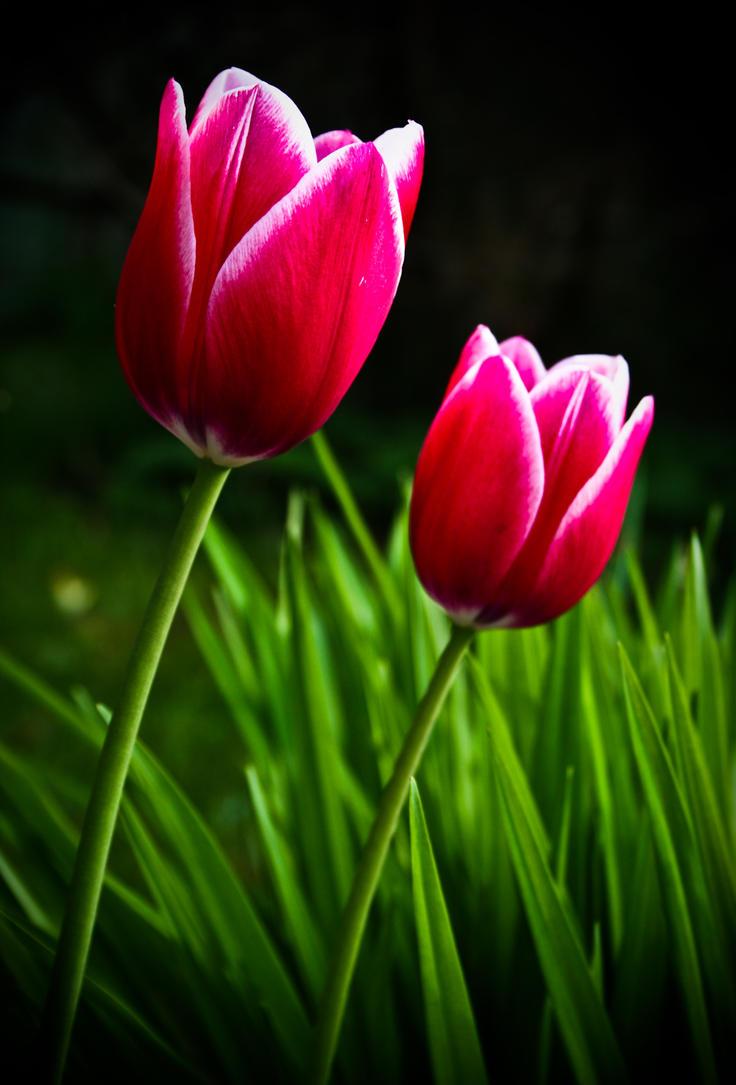 Tulipa da Esperanca by feese
