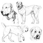 Sketchs Alabai (Central Asian Shepherd Dog - CAO)