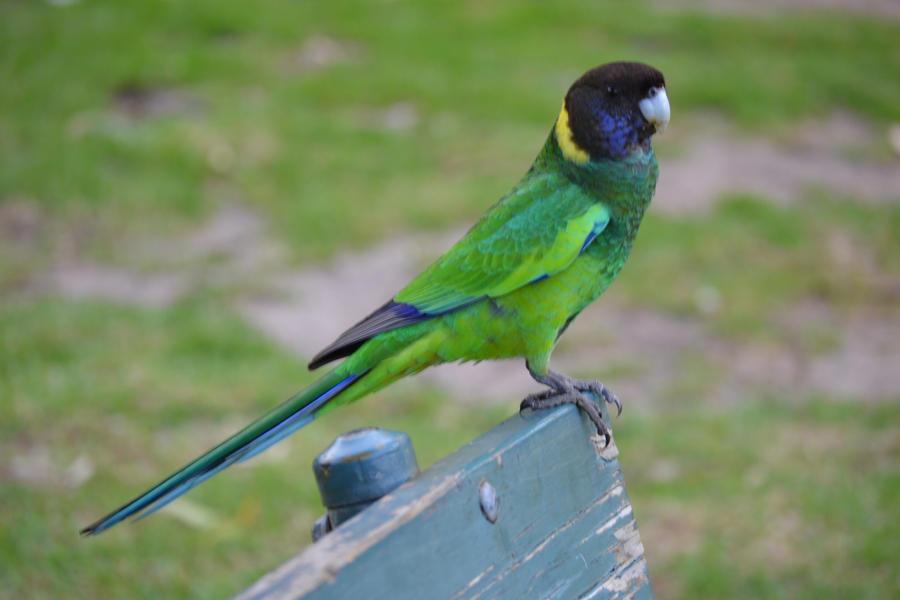 Port Lincoln Parrot by MayEbony